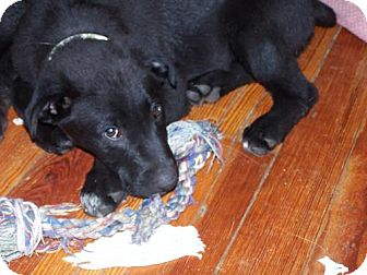 Labrador Retriever Mix Puppy for adoption in Libertyville, Illinois - Nellie