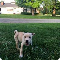 Adopt A Pet :: Meringue - Springfield, MO