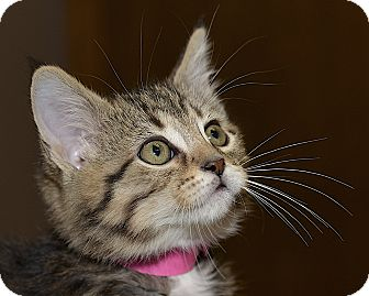 Domestic Shorthair Kitten for adoption in Medina, Ohio - Angelou