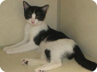 Domestic Shorthair Kitten for adoption in Westminster, California - Penguin