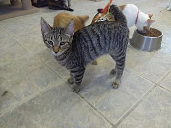 Domestic Shorthair Cat for adoption in Owenboro, Kentucky - AMAYA!