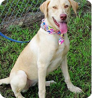 Labrador Retriever Mix Dog for adoption in Deer Park, New York - Willow