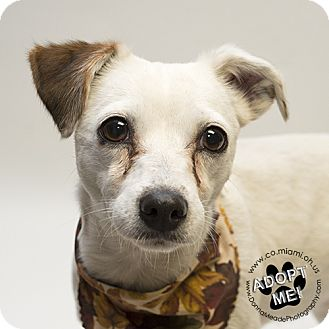 Jack Russell Terrier/Chihuahua Mix Dog for adoption in Troy, Ohio - Rogue