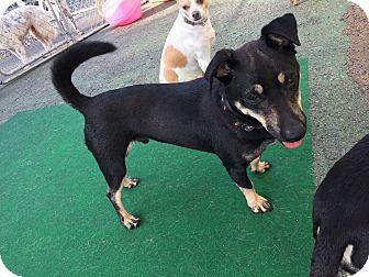 Basset Hound/Dachshund Mix Dog for adoption in Media, Pennsylvania - Bear