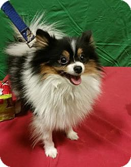Pomeranian Dog for adoption in Detroit, Michigan - Reno-Adopted!
