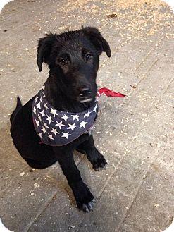Labrador Retriever/German Shepherd Dog Mix Puppy for adoption in Huntsville, Tennessee - Daryl