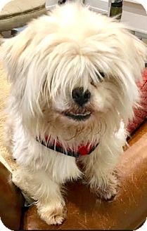 Shih Tzu/Poodle (Miniature) Mix Dog for adoption in Boulder, Colorado - Bryce-ADOPTION PENDING