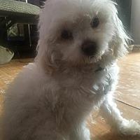 Adopt A Pet :: Poppet - Manhattan Beach, CA