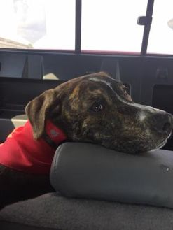 American Pit Bull Terrier Mix Dog for adoption in Mission, Kansas - Search for Tomorrow