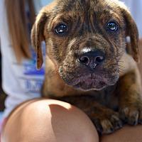 Adopt A Pet :: Brewer - Atlanta, GA