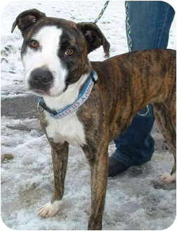 Pit Bull Terrier Mix Dog for adoption in Honesdale, Pennsylvania - Daisey