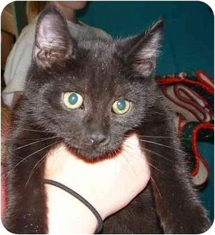 Domestic Shorthair Kitten for adoption in Honesdale, Pennsylvania - Bodo