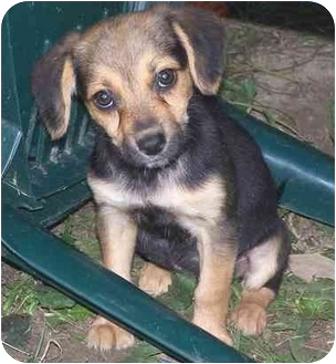 Labrador Retriever/Beagle Mix Puppy for adoption in Chadds Ford, Pennsylvania - Ruby