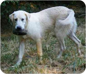 Great Pyrenees Mix Dog for adoption in Spring Valley, New York - JOJO