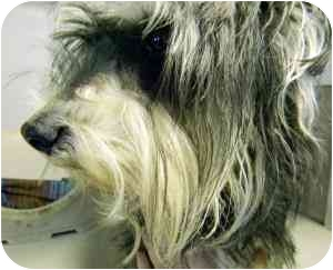 Schnauzer (Miniature) Mix Dog for adoption in Kansas City, Missouri - Courtesy List-A12315762- 2/12