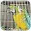 Photo 2 - Macaw for adoption in Fountain Valley, California - Sam