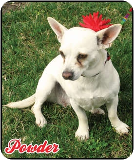 Chihuahua/Staffordshire Bull Terrier Mix Dog for adoption in San Marcos, California - Powder