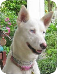 Husky/Siberian Husky Mix Dog for adoption in Ashland, Oregon - Sophie