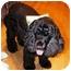 Photo 2 - Cocker Spaniel Dog for adoption in Santa Barbara, California - PRINCE