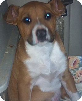 American Pit Bull Terrier/Black Mouth Cur Mix Puppy for adoption in Hazard, Kentucky - Bruno the Lover!