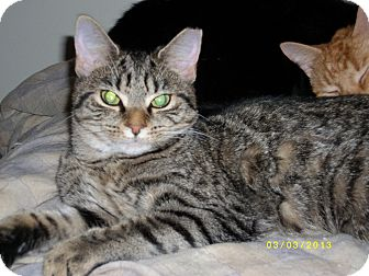 Domestic Shorthair Cat for adoption in Louisville, Kentucky - MAB (Courtesy Post)
