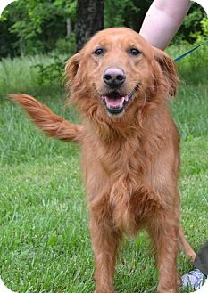 Golden Retriever Dog for adoption in Knoxville, Tennessee - Dutchess