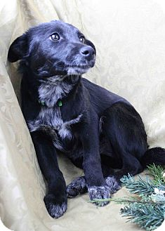 Retriever (Unknown Type)/Collie Mix Puppy for adoption in Westminster, Colorado - Joyful