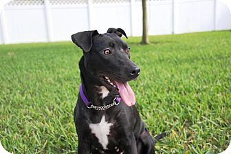 Labrador Retriever/Pit Bull Terrier Mix Dog for adoption in Ft. Myers, Florida - Sweet Pea