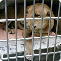 Adopt A Pet :: Sandee - Houston, TX