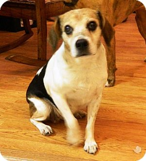 Beagle/Jack Russell Terrier Mix Dog for adoption in Transfer, Pennsylvania - Sis