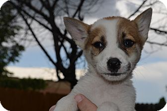 Shiba Inu Mix Puppy for adoption in Westminster, Colorado - Tazo