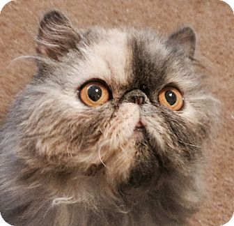 Persian Cat for adoption in Beverly Hills, California - Jackie