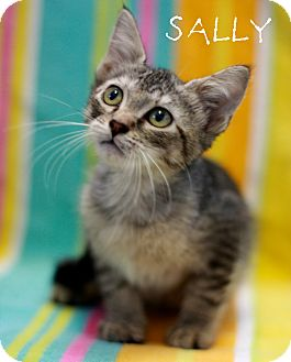 Domestic Shorthair Kitten for adoption in Everman, Texas - Sally