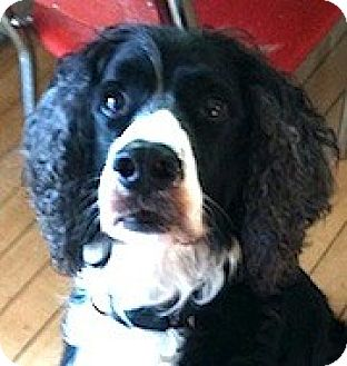 English Springer Spaniel Dog for adoption in Minneapolis, Minnesota - Scrappy