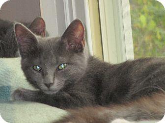 Domestic Shorthair Kitten for adoption in Columbus, Ohio - Boo
