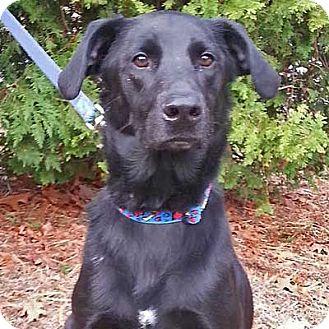 Labrador Retriever/Border Collie Mix Dog for adoption in West Kennebunk, Maine - Midnight