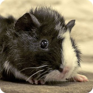 Guinea Pig for adoption in Chicago, Illinois - Crinkle Zazzle Spritz