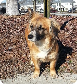 Corgi/Sheltie, Shetland Sheepdog Mix Dog for adoption in Lawrenceville, Georgia - Rosie