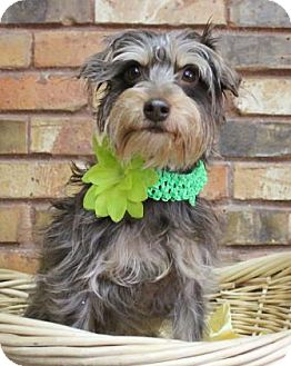 Yorkie, Yorkshire Terrier/Terrier (Unknown Type, Small) Mix Dog for adoption in Benbrook, Texas - Winnie