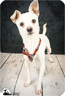 Chihuahua/Terrier (Unknown Type, Small) Mix Dog for adoption in Phoenix, Arizona - Skippy
