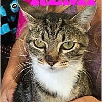 American Shorthair Cat for adoption in Cerritos, California - Remi