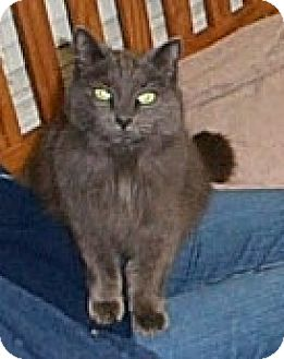 Domestic Mediumhair Cat for adoption in Fayetteville, Georgia - Lady Chablis