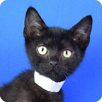 Domestic Shorthair Kitten for adoption in Carencro, Louisiana - Gabe