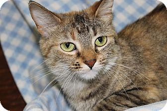 Domestic Shorthair Cat for adoption in Danville, Illinois - FLOWER
