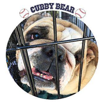 English Bulldog Dog for adoption in Park Ridge, Illinois - Cubby Bear
