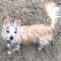 Adopt A Pet :: Leonis - McKinney, TX