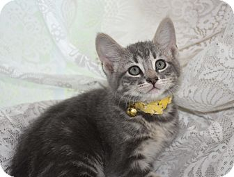 Domestic Shorthair Kitten for adoption in Bristol, Connecticut - Darby