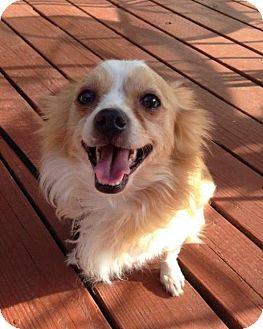 Pomeranian Dog for adoption in Centreville, Virginia - Cooper