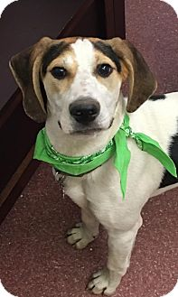 Treeing Walker Coonhound Mix Puppy for adoption in Pottstown, Pennsylvania - Elvis (Harper's Pup)
