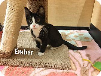 Domestic Shorthair Kitten for adoption in Foothill Ranch, California - Ember